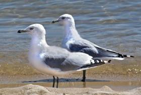 piccioni, george clooney, gabbiani, lido, spiaggia